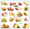 2012 new crop fresh shandong holland potato