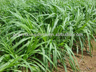 Green Export-oriented Perennial Hybrid Pennisetum Grass Seeds