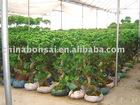 Bonsai ficus s-shape/ficus microcarpa