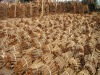 of cinnamon manufacturers