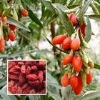 Lycium Barbarum/Wolfberry