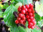 Schisandra chinensis berry P.E. 2%,5%,9%,23%,25%Schisandrins HPLC