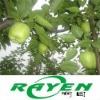 Green Su Pear
