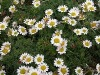 Pyrethrum Extract -- Pyrethrins