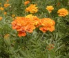 French Marigold,Seeds,Beautiful Flower,Marigold Seeds(007004)