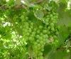 2012New Red Globe Grape