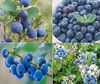 Bilberry Extract Powder (Anthocyanidin 25% UV)