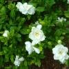 Gardenia Extract Gardenoside(10%-98%)