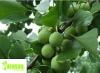 Premium Quality Ginkgo Biloba Leaf Extract