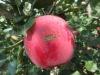 Apple fruit-Fuji