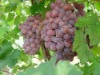 2012 grape June new arrival from yunnan, china