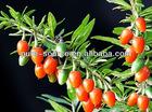 Fructus Lycii Extract