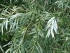 White Willow Bark Extract Salicin(CAS:138-52-3) 90%