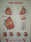 heart anatomical chart/3d medical poster/3d anatomical picture