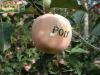 Fuji wholesale prices apple fruit