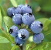 High quality Bilberry Dry Extract with 25% Anthocyanidins