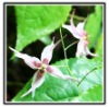 Epimedium herb extract