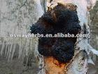 Siberian Chaga Mushroom P.E. 20%-40% polysaccharides
