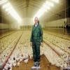 Improve chicken chicken digest animal feed additive steel grit