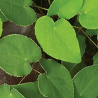 Epimedium P.E. : To promote sexual ability Icariin 5%-98%