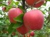 Shandong Fresh Apple , apple price