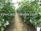 Chinese fresh red grape