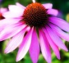 Echinacea Purpurea extract