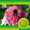 Organic Echinacea extract 2%~4% Polyphenol,Cichoric Acid