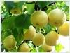 2011 crop golden pear fresh