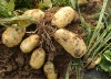2012 Shandong new crop Fresh Potato in Various Pack