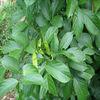 Favorable price best quality retenone pesticide in bulk supply