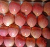 fuji apple harvest