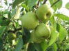 2012 fresh pear from china