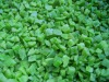 Frozen IQF green pepper cubes and strips