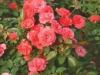 Hoeren -Floribunda Roses