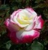 beautiful hybrid tea roses -- multicolor perfume flower