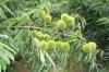 frozen chestnut