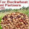 buckwheat investment project of buckwheat processing