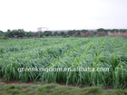 Yellowish Brown Hybrid Pennisetum Grass Seed Biology Power Fuel Plant