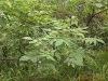 Galla Chinensis Extract(Ellagic Acid 90%)