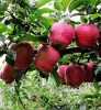 Huaniu Apple/red delicious apple/red apple