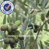 100% natural Olive Leaf Extract 10:1 powder
