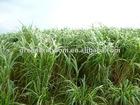 Warm season High yield Hybrid Pennisetum Forage seeds