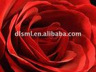Pure Rose oil(essential oil) b