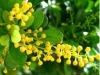 Pure Natural Fragrance Aglaia odorata concrete