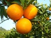 Chinese Delicious Navel orange