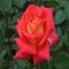 fresh roses Flower