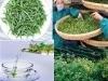 Organic Green Tea. Chinese Organic Green Tea.High-quality Chinese organic green tea