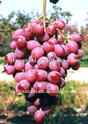 New Crop Sweet Red Grape