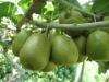 Shaanxi hongyang fresh kiwi fruit